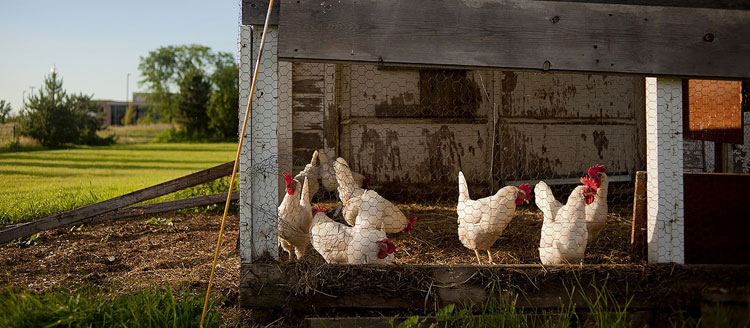 chicken-coop-header
