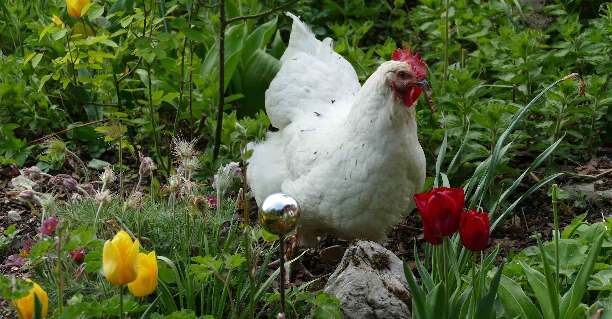 Bild Hühner im Garten
