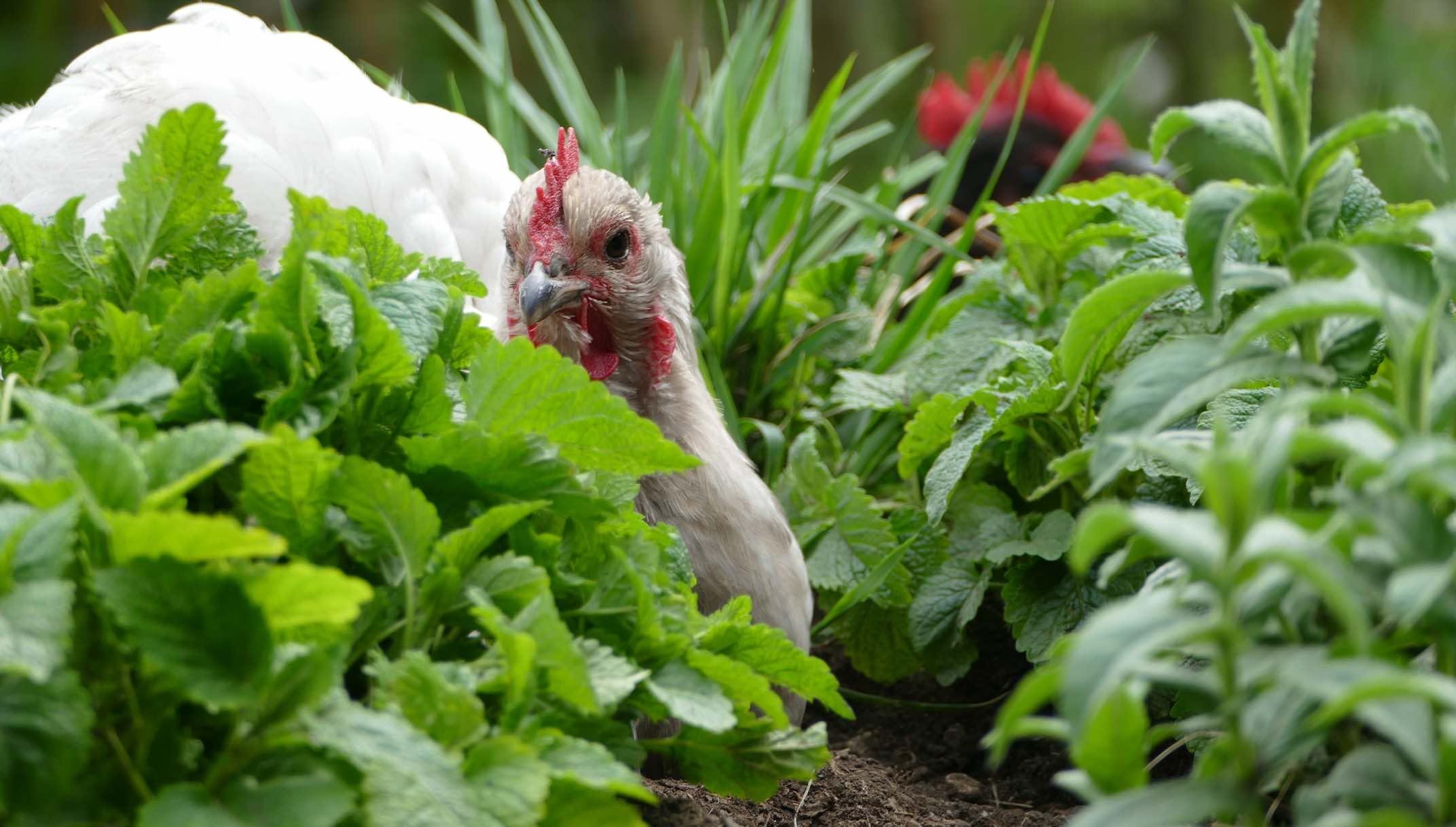 Bild Gartenhühner