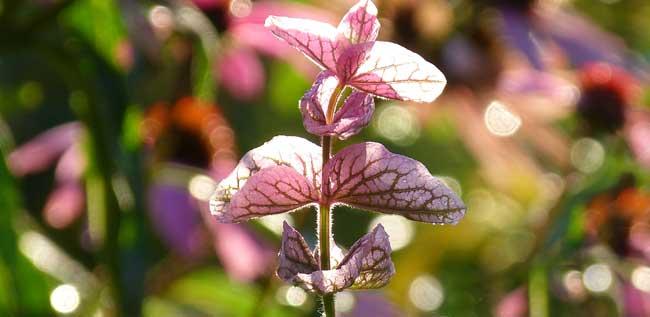 rosa-schopfsalbei